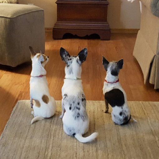 "three chihuahuas in line with backs t camera in a perfect ""sit"" position"