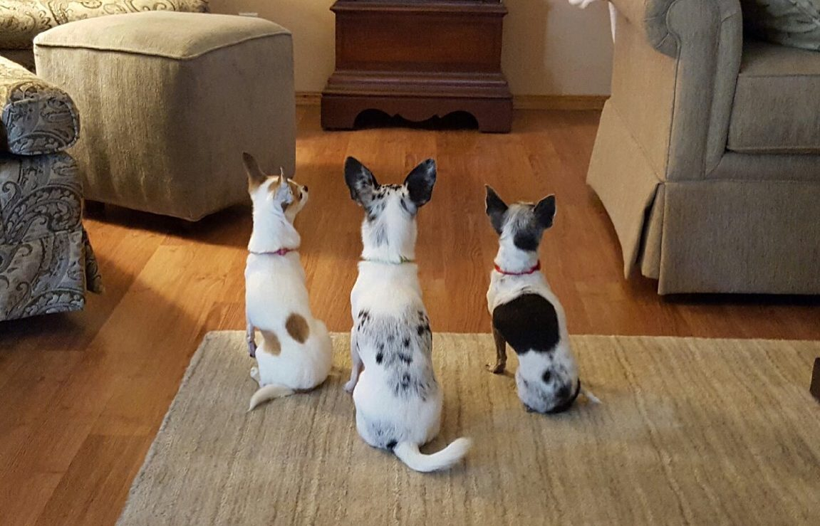 """three chihuahuas in line with backs t camera in a perfect """"sit"""" position"""
