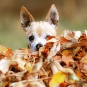 fawn and whit short haired chihuahua looking over a pile of leaves