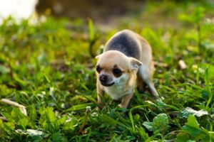 a tiny, frightened black and tan short haired Chihuahua with grass background