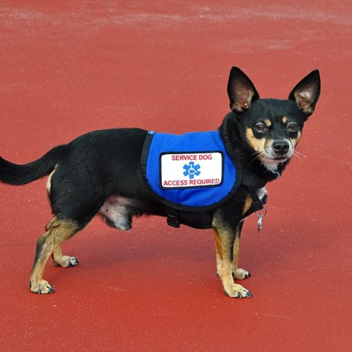 can a chihuahua be a service dog, black and tan chihuahua with service vest on