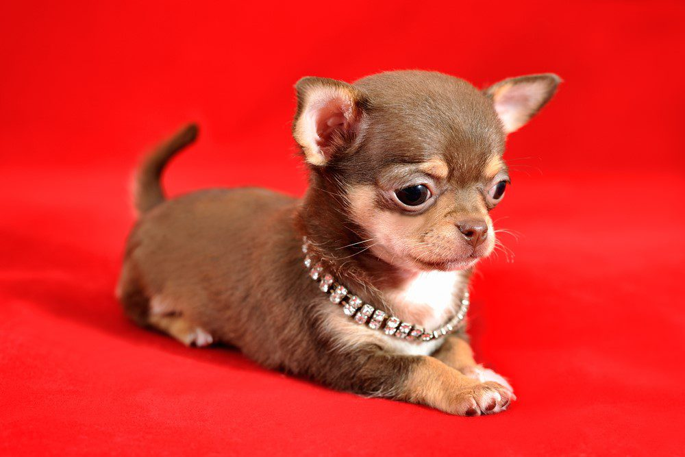 Beginners Guide to Raising a Well-Mannered Chihuahua Puppy