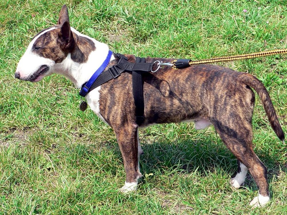 what is a brindle chihuahua is it a breed of chihuahua color