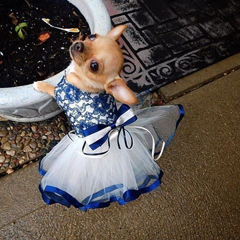 clothes on dogs, beautiful blue frilly dress on a chihuahua