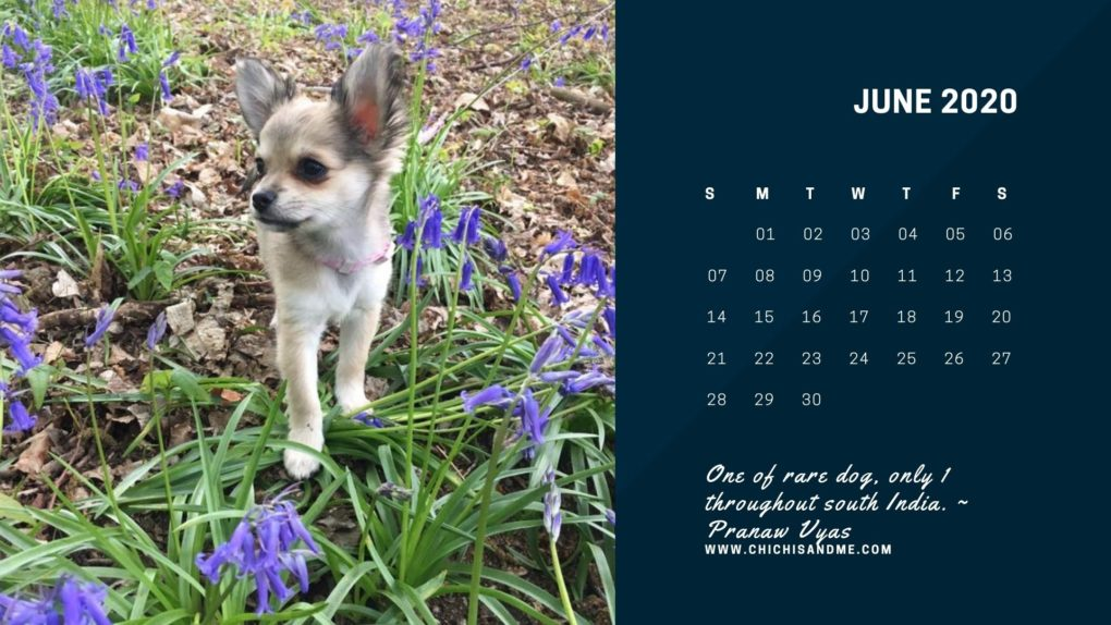 December 2020 Calendar Printable Quote 2019 2020 Chihuahua Quotes Printable Calendar   ChiChis And Me