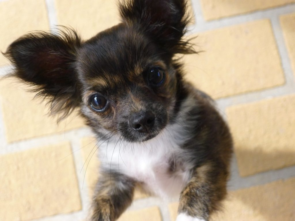 CHIHUAHUA RESCUE Are you looking to adopt a Chihuahua?